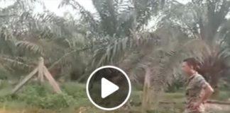 10 அடி நாக பாம்பை கையால் பிடிப்பதெப்படி - காணொளி
