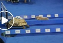 Tortoise_VS_Rabbit_race
